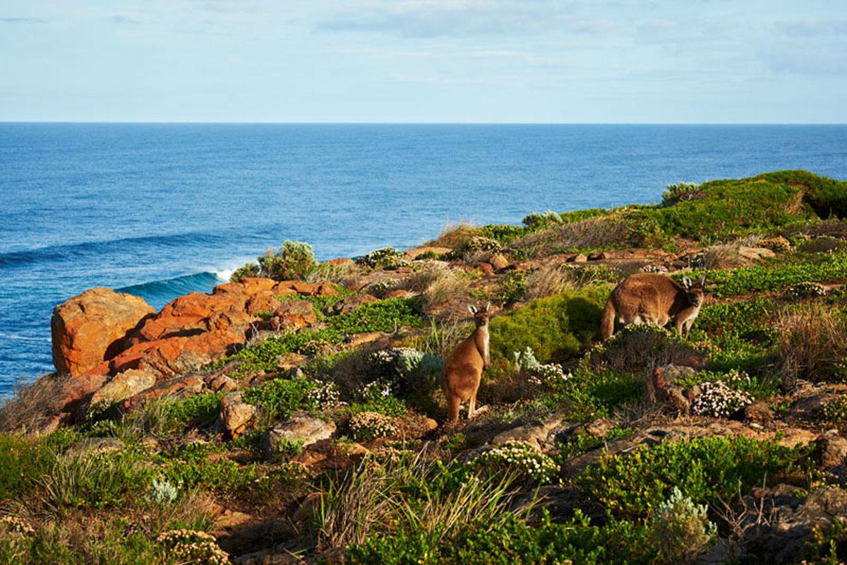 Kangaroos near Moses Rock