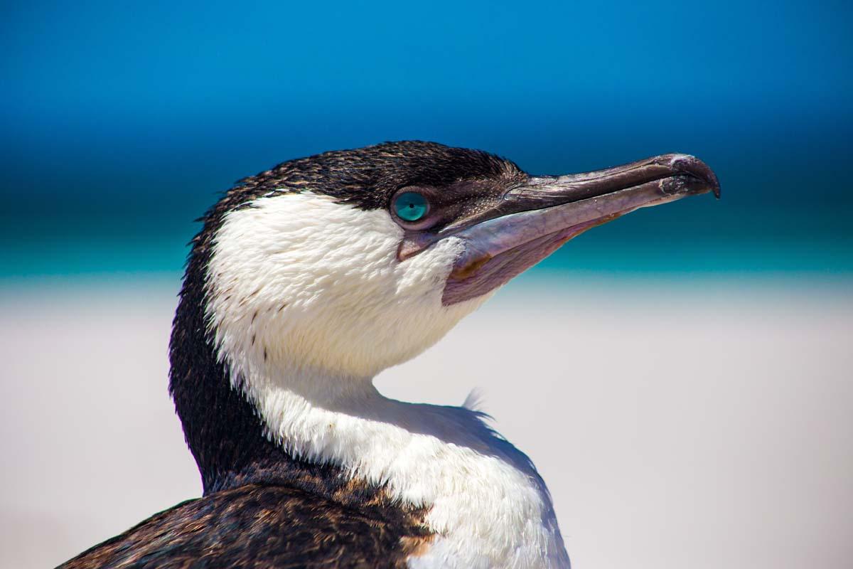 Discover unique Australian birdlife on the Freycinet Experience Walk in Tasmania.