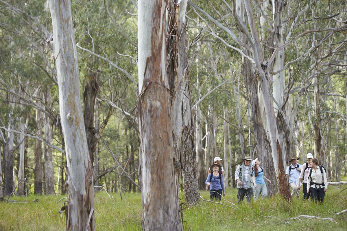 Walk through Eucalyptus Forests on the Scenic Rim Trail in Queensland, Australia.