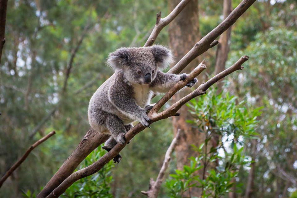 Encounter unique Australian wildlife like the koala on the Scenic Rim Trail in Queensland.