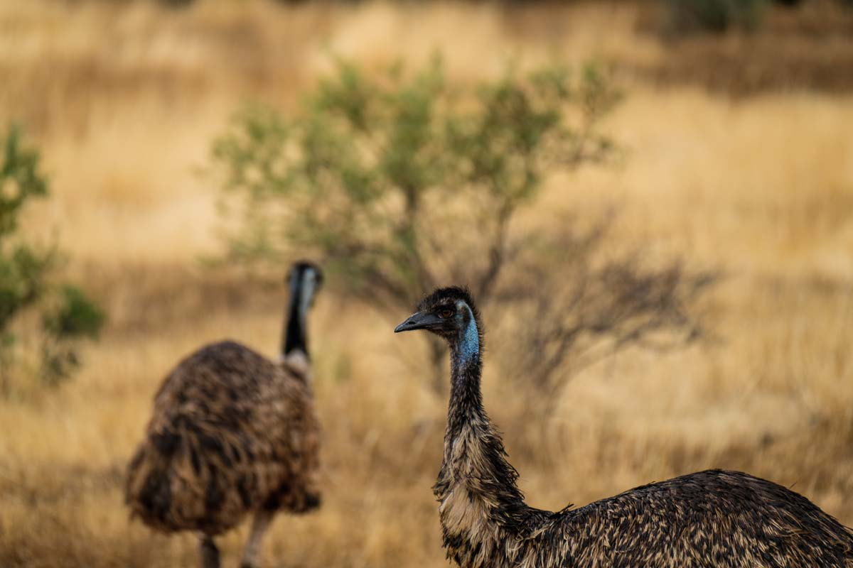 Discover unique Australian wildlife like the South Australian emu with Great Walks of Australia on the Arkaba Walk.