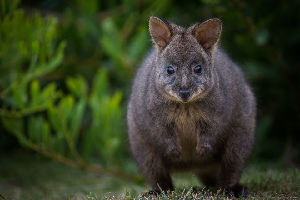 Pademelon on the Maria Island Walk