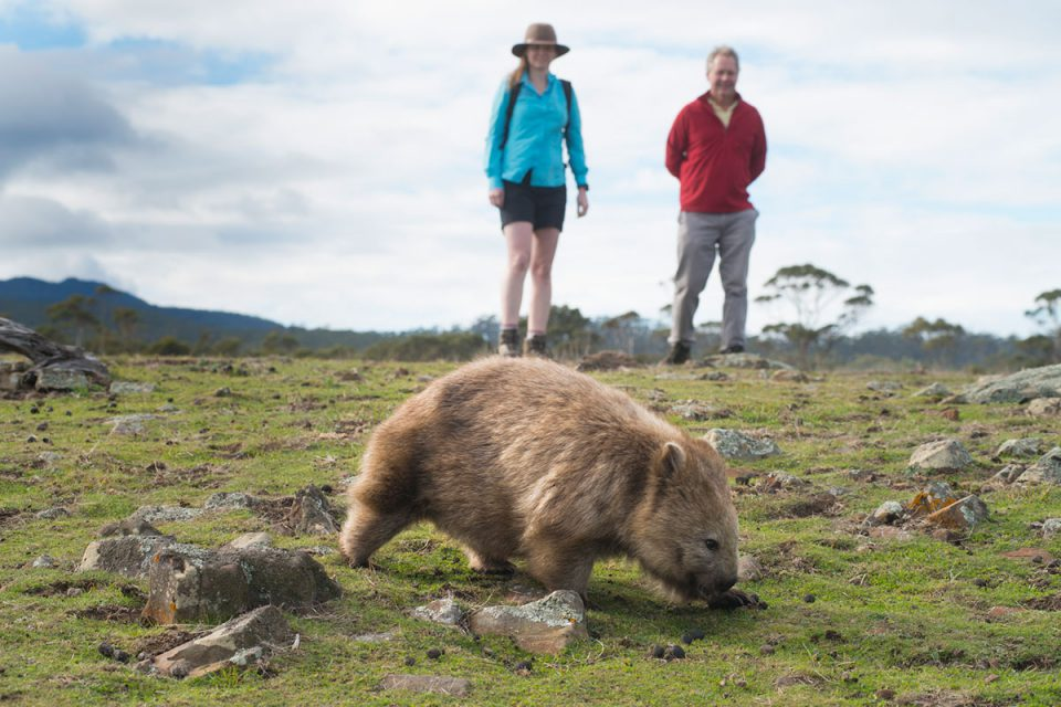 Encounter unique Australian wildlife like the wombat on the Maria Island Walk in Tasmania.