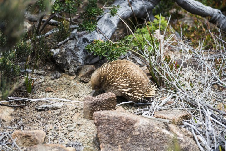 Encounter unique Australian wildlife like the echidna on the Three Capes Lodge Walk in Tasmania.
